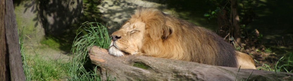 SleepingLion2